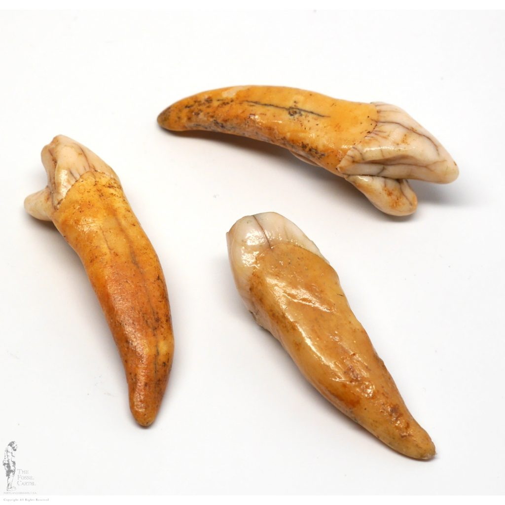 Fossil teeth