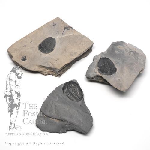 Fossils in Portland Oregon