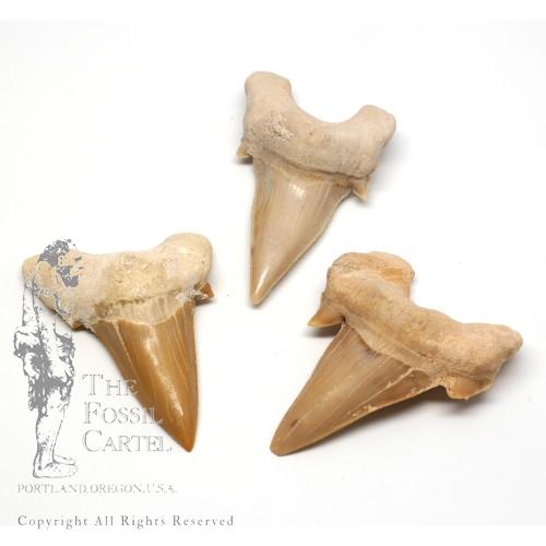 Fossil Shark Teeth in Portland Oregon