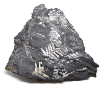 A grey fern fossil slab against a white background
