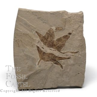 Sycamore Leaf Fossil
