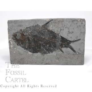 Fossil Fish from China
