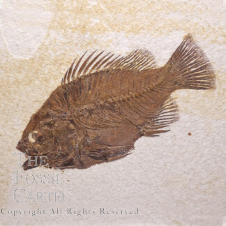 Priscacera Fish Fossil