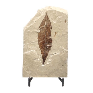 A brown leaf fossil preserved in a sandstone matrix from Utah against a white background