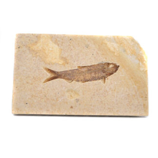 A fish fossil embedded within sandstone against a white background