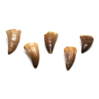 Mosasaur fossil teeth against a white background